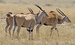 Common Elands.jpg