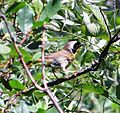 Common Yellowthroat (5888680778).jpg