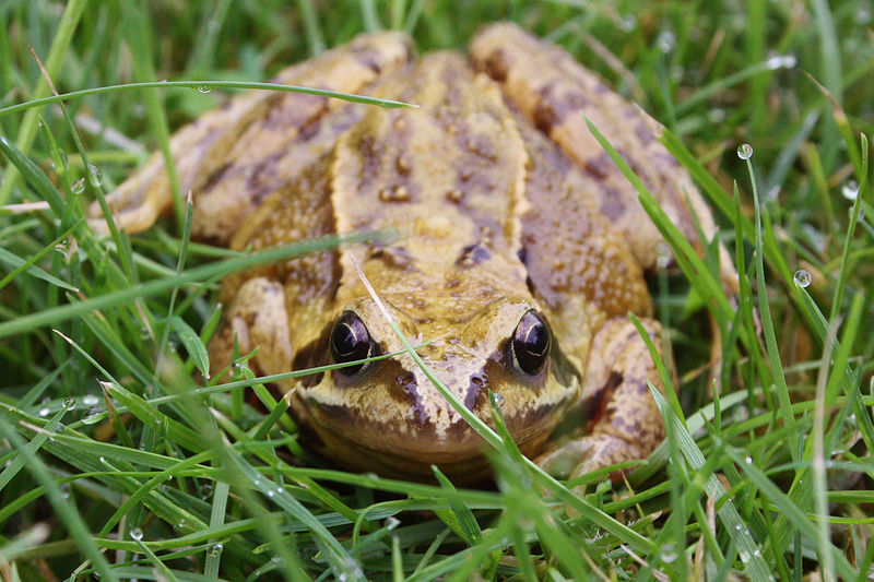 فائل:Common frog rana temporaria.jpg