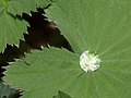 Common lady's mantle leaf (33571260176).jpg
