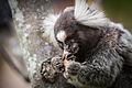 Common marmoset (Callithrix jacchus) cockroach.jpg