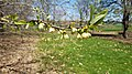 Common persimmon (41054794865).jpg