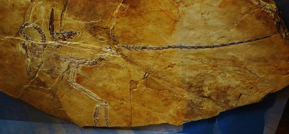 Compsognathus corallestris = longipes