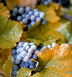 Several cluster of purple-colored Concord grapes mixed among the vine's leaves