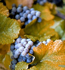 Purple-colored Concord grapes on the vine with abundant foliage
