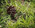 Cone in the Grass (4908532481).jpg