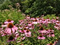 Coneflowers Echinacea purpurea New York.tif