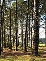 Conifer plantation near St Hilary - geograph.org.uk - 985875.jpg