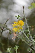 Conservatoire botanique national de Brest-Teline salsoloides-15 07 013-Triton (20172188186).jpg