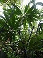Conservatoire du bégonia 2015. Begonia luxurians 02.JPG