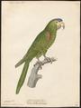 Conurus nobilis - 1842-1855 - Print - Iconographia Zoologica - Special Collections University of Amsterdam - UBA01 IZ18500141.tif