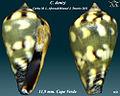 Conus denizi 1.jpg