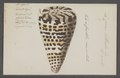 Conus litteratus - - Print - Iconographia Zoologica - Special Collections University of Amsterdam - UBAINV0274 086 02 0003.tif