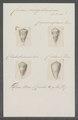 Conus magellanicus - - Print - Iconographia Zoologica - Special Collections University of Amsterdam - UBAINV0274 086 06 0012.tif