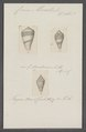 Conus mercator - - Print - Iconographia Zoologica - Special Collections University of Amsterdam - UBAINV0274 087 02 0020.tif
