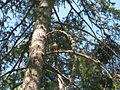 Coopers Hawk (5416208159).jpg