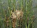 Coot Nest 02-06-11 (5791319056).jpg