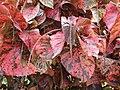 Copperleaf (Acalypha wilkesiana).jpg