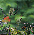 Coppersmith Barbets- Adult with Immature I IMG 8534.jpg