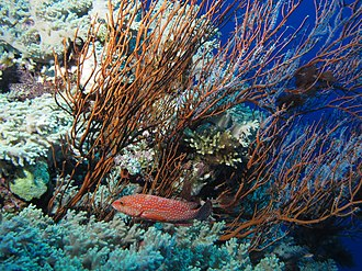 Coral hind - Image: Coral hind cruising past a mostly dead gorgonian. (6166399932)
