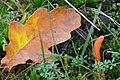 Cordyceps militaris (GB= Scarlet Caterpillarclub, D= Orangegelbe Puppenkernkeule, NL= Rupsendoder) at Deelerwoud in the moss - panoramio.jpg