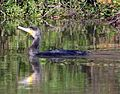 Cormorant. Phalacrocorax carbo - Flickr - gailhampshire.jpg