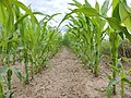 Corn - panoramio (1).jpg