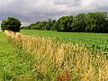 Corn near Bourton-on-the-Hill - geograph.org.uk - 31465.jpg