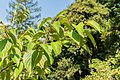 Cornus amomum in La Jaysinia (5).jpg
