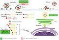 Coronavirus replication cycle.jpg