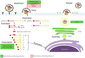 Coronavirus replication cycle