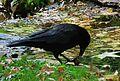 Corvus corone mit einer Walnuss 02.JPG