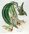 Coryanthes maculata - Edwards vol 21 pl 1793 (1836).jpg