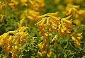 Corydalis lutea Flowers.JPG