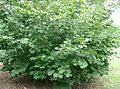 Corylus heterophylla var thunbergi2.jpg