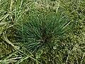 Corynephorus canescens 2019-04-05 9194.jpg