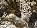 Coryphantha erecta (5755297478).jpg