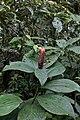 Costus scaber (Costaceae) (29638460373).jpg