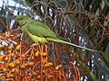 Cotorra de Kramer (Psittacula krameri) (5586343251).jpg
