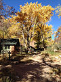Cottonwood trees at Phantom Ranch.JPG