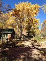 Cottonwood trees at Phantom Ranch.JPG