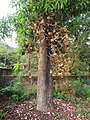 Couroupita guianensis - Cannon Ball Tree at Peravoor (25).jpg
