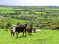 Cows at Nedsherry - geograph.org.uk - 429528.jpg
