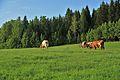Cows by Kuninkaantie, Sipoo 6.JPG