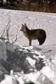 Coyote040 (26901961416).jpg
