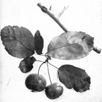 Malus coronaria - A fruiting spray of M. coronaria