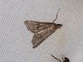 Crambidae sp. (39920374932).jpg