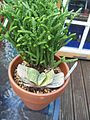 Crassula and Gasteria (6105628555).jpg