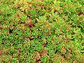 Crassula milfordiae 2.jpg
