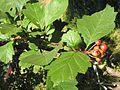 Crataegus sanguinea20140713 014.jpg